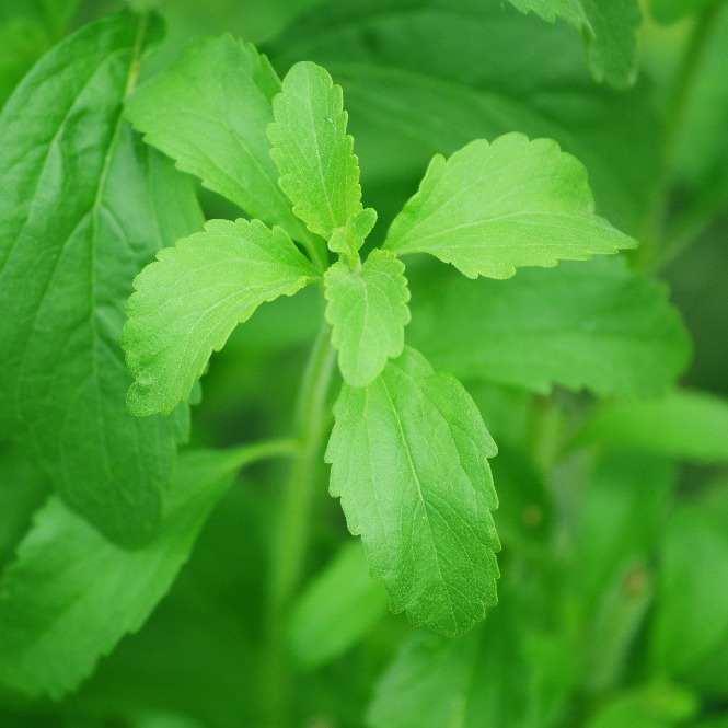 Stévie: sladká bylina z Brazílie